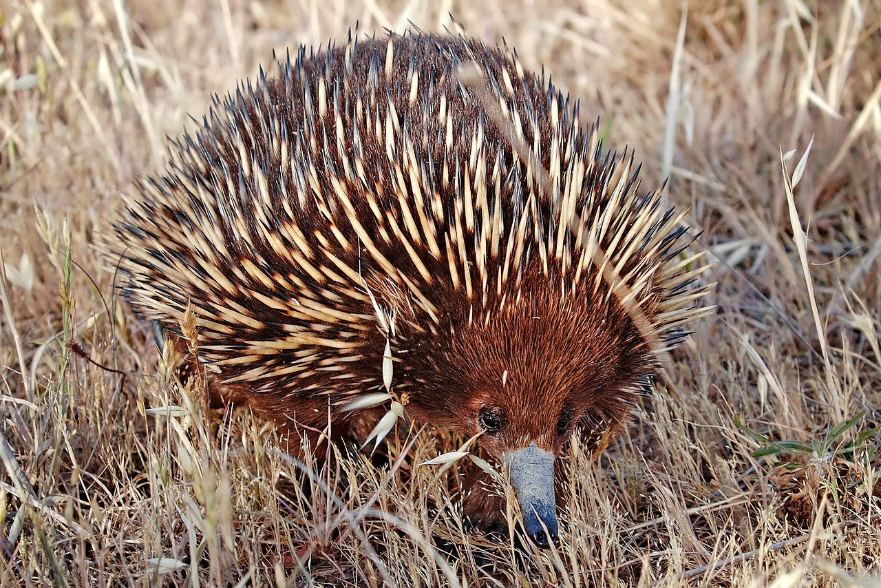 An echidna of the Tachyglossus aculeatus species