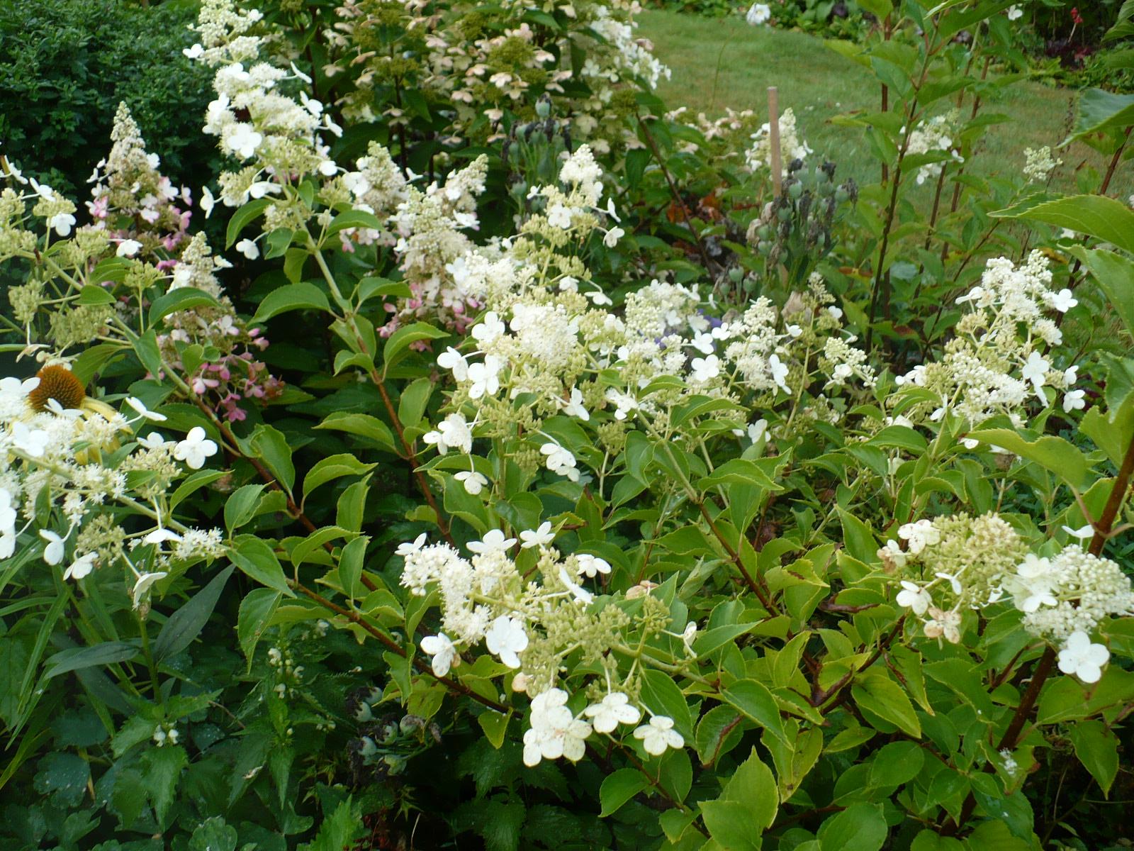 hydrangea hortensja hydrangea paniculata hortensja. Black Bedroom Furniture Sets. Home Design Ideas