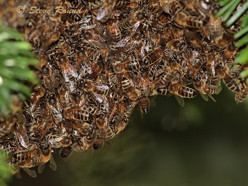 honey bee, insect, swarm, nature, wildlife