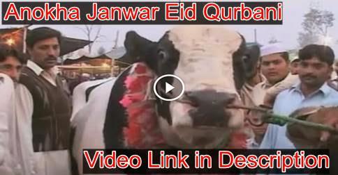 Anokha Janwar Eid Qurbani 2014, Anokha Janwar Eid Qurbani 2014, cattle farming in pakistan, Anokha Janwar Eid Qurbani 2014,urbani 2014, cow mandi, cow mandi pakistan, cow run away, bakra eid 2014