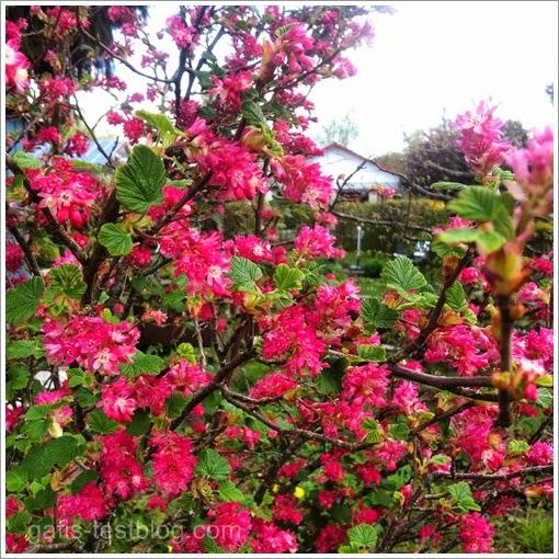 Blühender Strauch in Pink