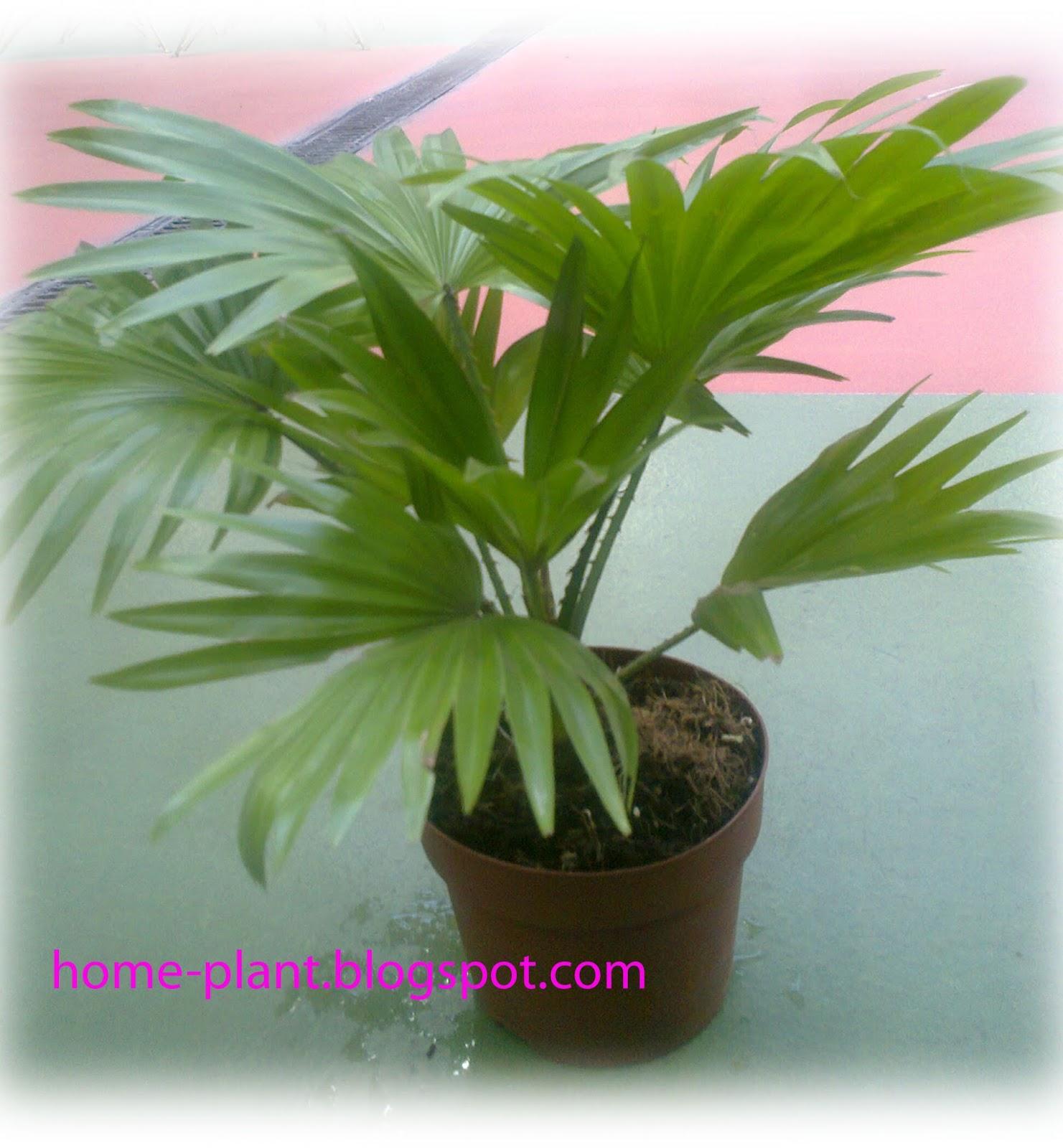 Уход за пальмой ливистон в домашних условиях