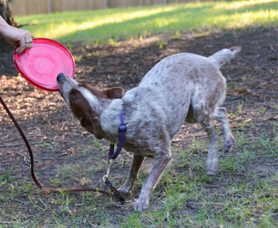 Stumpy Tail Cattle Dog with frisbee