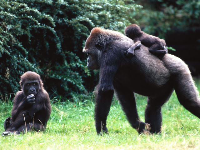 Bebé Gorila con su Mamá