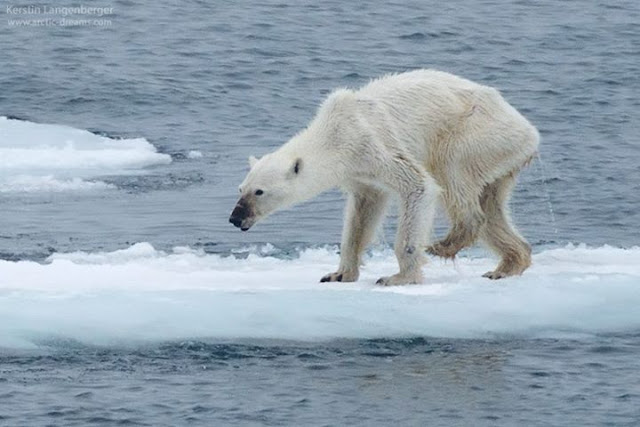 The picture of a Skeleton polar bear shocks the Web, viral pictures, images went viral on facebook,