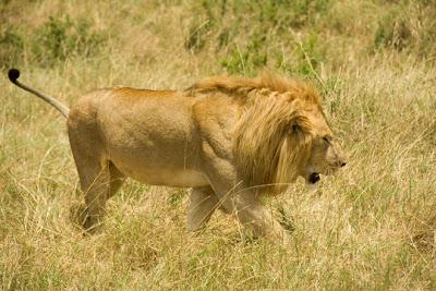 Foto Singa Masai (Panthera Leo nubica)
