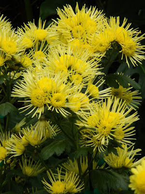 Yellow thistle mums at Allan Gardens Conservatory 2015 Chrysanthemum Show by garden muses-not another Toronto gardening blog