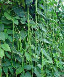 Hama dan Penyakit Tanaman Kacang Panjang
