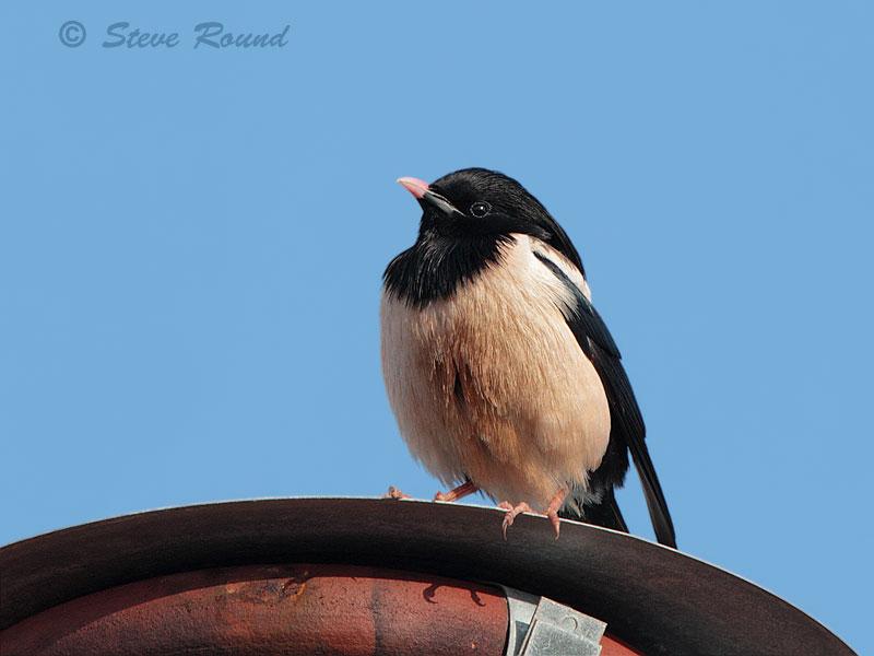 rose-coloured starling, bird, nature, wildlife