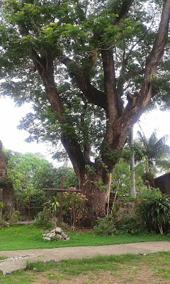 Boso Boso Church Big tree