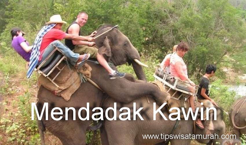 Gajah Tunggang ini Mendadak Kawin, Turis Histeris Kegirangan