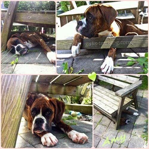 Boxer Amy unter der Gartenbank