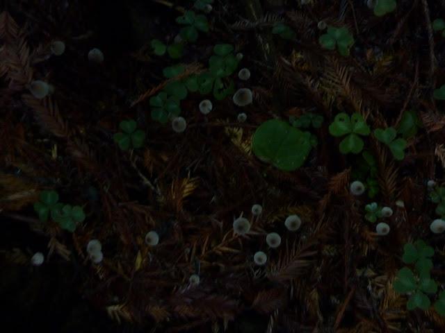 mendocino coast mushroom forage