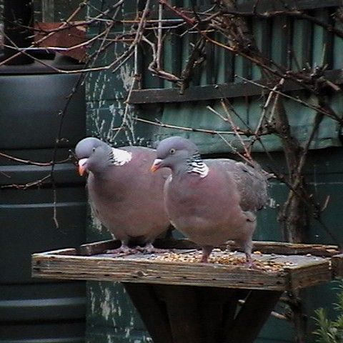 Pictures of Wednesday Woodpigeons