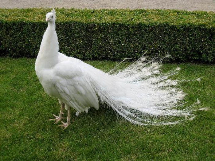 Beautiful White Peacock Photos