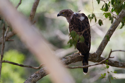 Crested Hawk-Eagle - Willpattu, Sri Lanka