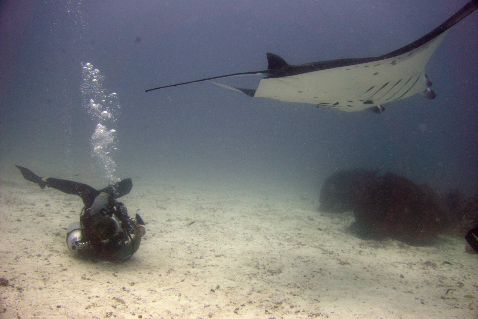 Manta ray swimming underwater with its dorsal fins spread open viewed - Josie Taking The Perfect Belly Id Shot