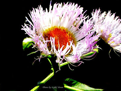 Wild Aster 2012
