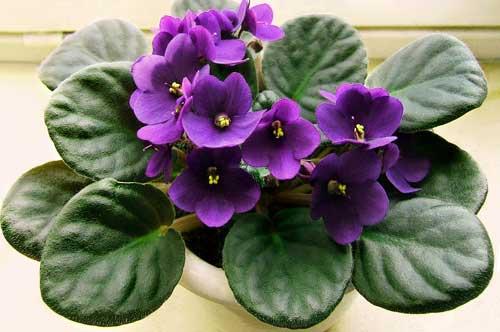 Como cultivar violetas