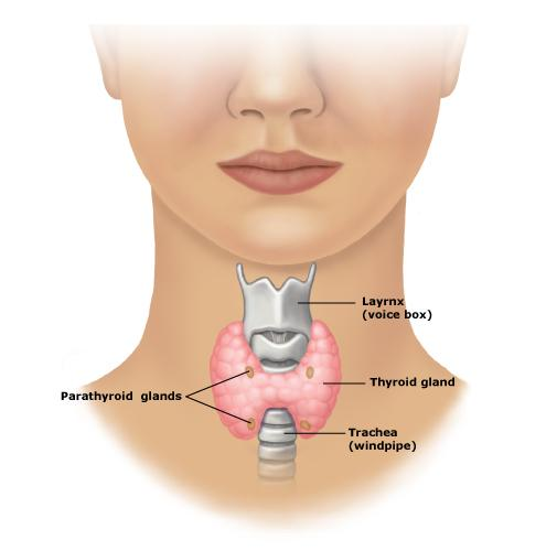 A Diagram Of Human Thyroid, A, Free Engine Image For User Manual Download