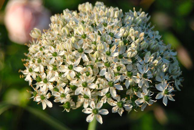 White Allium multibulbosum