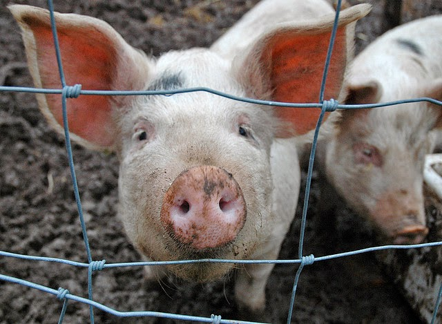 picture of a pig looking through a wire fence