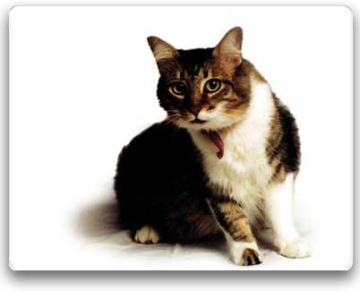 El Mundo De Los Felinos: Gato Mexicano doméstico