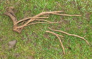 Excavated sea kale root
