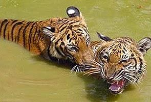 Dua ekor harimau terlepas dari Zoo Taiping