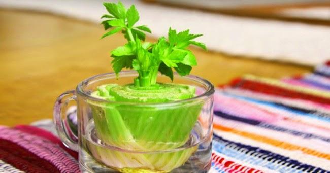 http://1.bp.blogspot.com/-zskFQEkEpk4/U-srJxqvidI/AAAAAAAACEs/lI4mmkDsccc/s1600/vegetables-regrow-again-e1404960770744.jpg