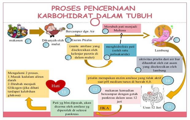 Skema Proses Pencernaan Karbohidrat dalam Tubuh Manusia