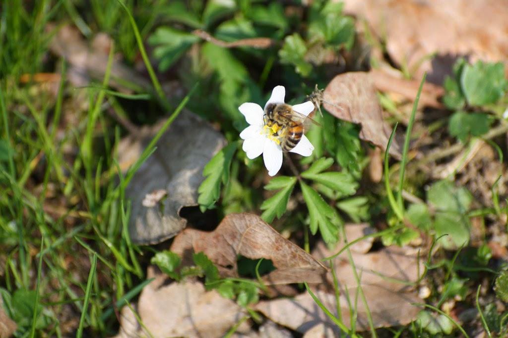 Biene an Blume