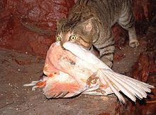feral cat killing a native Australian cockatoo