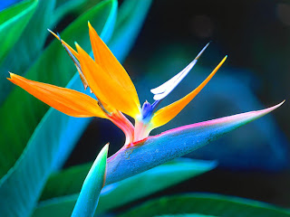 bird of paradise flowers-hawaii