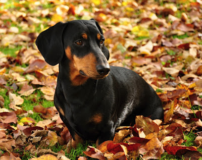 A dachsund surrounded by autumn leaves