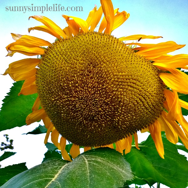 ripening sunflower seed head, Growing sunflowers: tips and my favorites