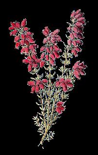 stock wildflower image heather