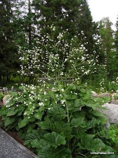 Stäppkål Crambe cordifolia