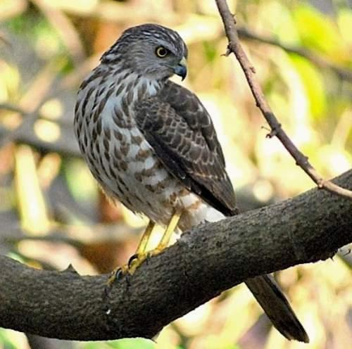 Indian birds - Image of Besra - Accipiter virgatus
