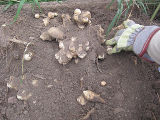 jerusalem artichoke search