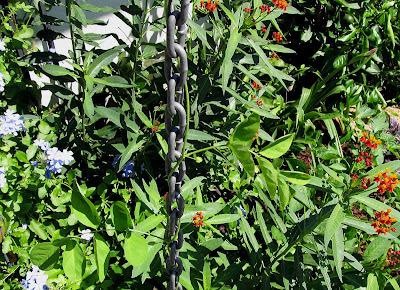 Annieinaustin,tropical milkweed & Plumbago