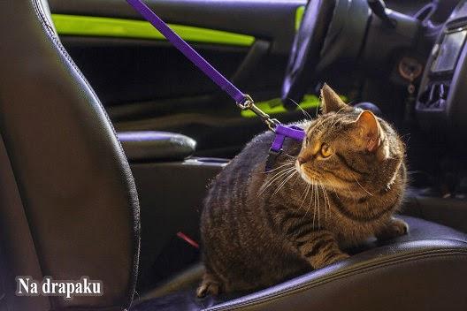 Nie zostawiaj kota w samochodzie podczas upałów!