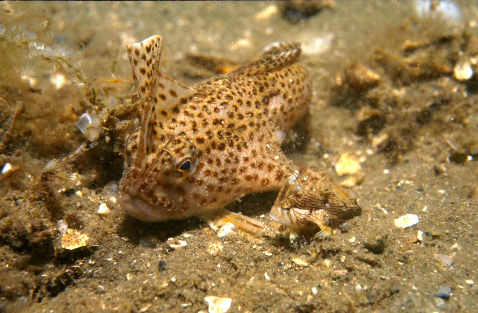 http://fishshare.blogspot.com/2015/01/handfish-pictures-3.html