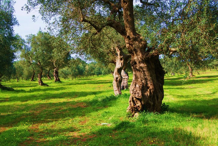 Home to italy italy my 1 000 year old olive tree is for What to plant under olive trees