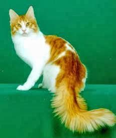Perbedaan Kucing Persia Dan Anggora Persianggora
