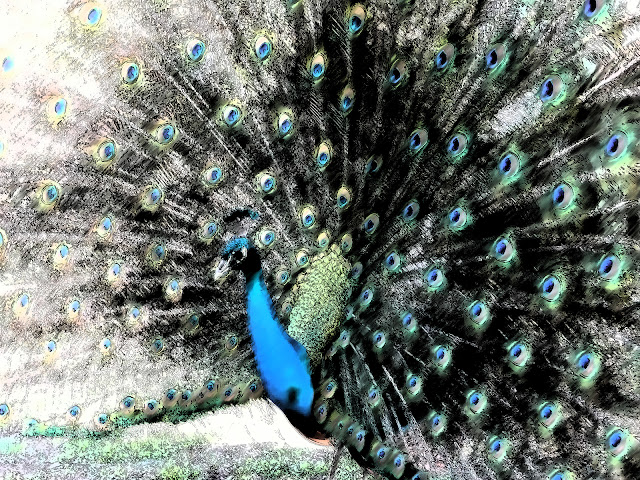 Digitised image of a peacock and it's feathers.