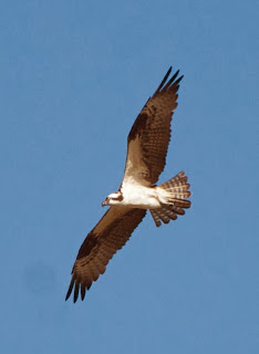 Osprey (Pandion haliaeetus)