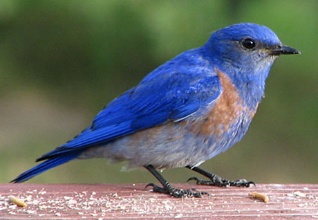 Blue bird - photo#10