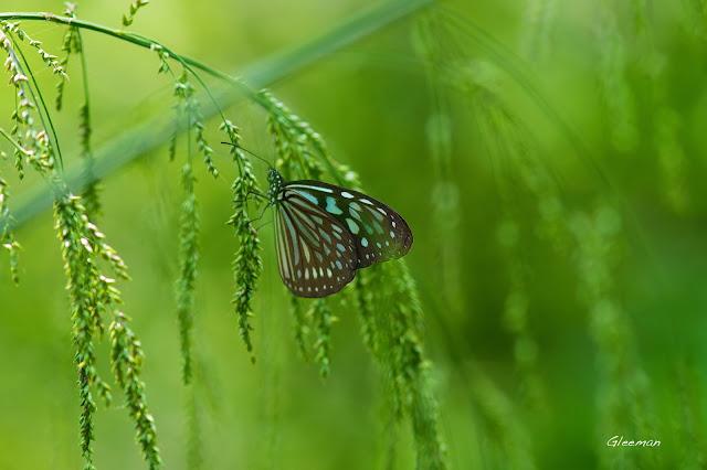 雞南山散步,琉球青斑蝶