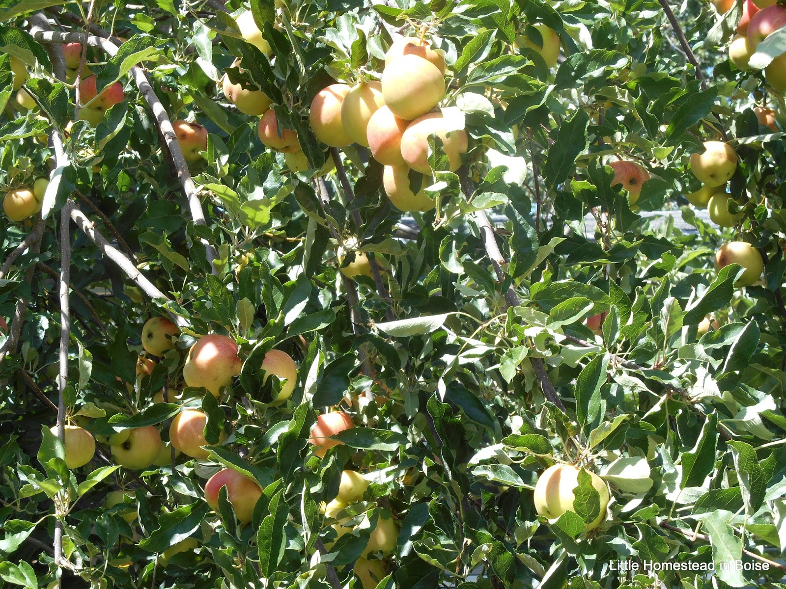 Little homestead in boise it 39 s apple harvest time for Where can i go apple picking near me